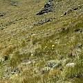 Cyrtanthus flanaganii, Tiffindell, Cameron McMaster