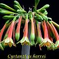 Cyrtanthus herrei, Bill Dijk [Shift+click to enlarge, Click to go to wiki entry]