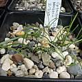Cyrtanthus mackenii seedlings, Byron Amerson