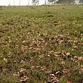 Cyrtanthus mackenii cooperi, Cameron McMaster