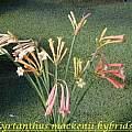 Cyrtanthus mackenii hybrid, Bill Dijk