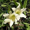 Cyrtanthus sanguineus hybrid, Lee Poulsen