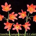 Cyrtanthus sanguineus × Cyrtanthus elatus, Bill Dijk
