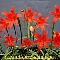 Cyrtanthus sanguineus, Bill Dijk