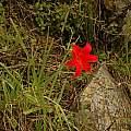 Cyrtanthus sanguineus, photo by Bob Rutemoeller