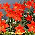 Cyrtanthus sanguineus, form known as var. glaucophyllus, Bill Dijk