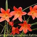 Cyrtanthus sanguineus hybrids, Bill Dijk