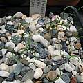 Cyrtanthus smithiae seedlings, Byron Amerson