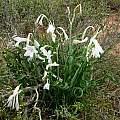 Cyrtanthus smithiae, Cameron McMaster