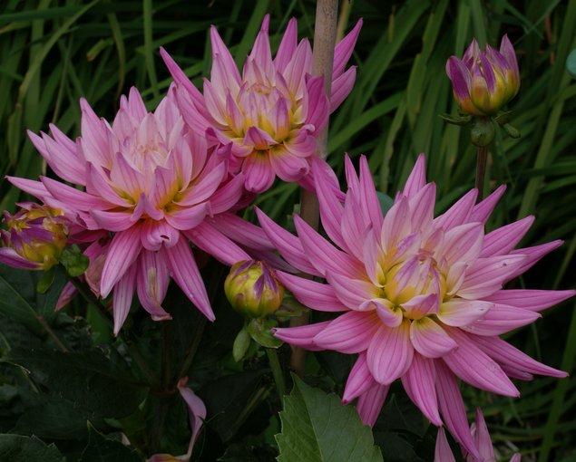 Pacific Bulb Society Dahlia Cultivars