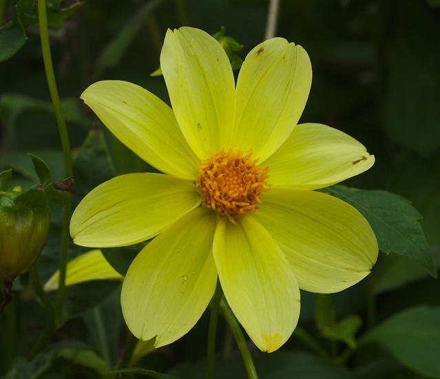 Dahlia single flower, David Pilling