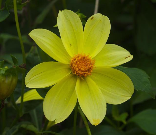 Dahlia single flower, David Pilling