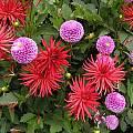 Dahlia cultivars, Mendocino Coast Botanical Garden, Mary Sue Ittner