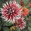 Dahlia cultivar, Mendocino Coast Botanical Garden, Mary Sue Ittner