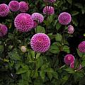 Purple Dahlia cultivar, Mendocino Coast Botanical Garden, Mary Sue Ittner