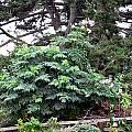 Dahlia imperialis, Susan Hayek