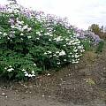Dahlia imperialis, Lauw de Jager