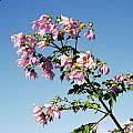 Dahlia imperialis, Rob Hamilton