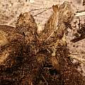 Dahlia tuber with 'eye', David Pilling
