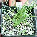 Daubenya aurea 4 year old seedlings, Jacob Uluwehi Knecht