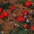 Daubenya aurea at Middelpos, Mary Sue Ittner