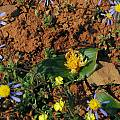 Daubenya aurea yellow, Mary Sue Ittner