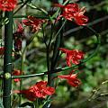 Delphinium cardinale, Mary Sue Ittner