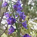 Delphinium hansenii ssp hansenii, Bob Rutemoeller