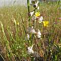 Delphinium hesperium ssp. pallescens, Bear Valley Road, Mary Sue Ittner