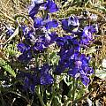 Delphinium hesperium ssp. hesperium in the wild, Bob Rutemoeller