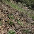 Delphinium nudicaule, Napa Co, CA, Nhu Nguyen