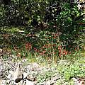 Delphinium nudicaule, Mt. Diablo, CA, Nhu Nguyen
