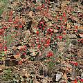Delphinium nudicaule, near Mt. Hamilton, CA, Nhu Nguyen