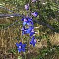 Delphinium parryi, Mary Sue Ittner