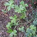 Delphinium parryi leaves, Mary Sue Ittner