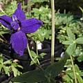 Delphinium patens ssp. patens, Bob Rutemoeller