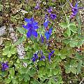 Delphinium patens ssp hepaticoideum, Mary Sue Ittner