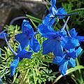 Delphinium sp., Mary Sue Ittner