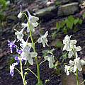 Delphinium tricorne, John Lonsdale