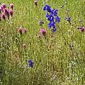 Delphinium variegatum, Mary Sue Ittner