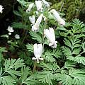 Dicentra canadensis, Nhu Nguyen