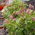 Dicentra eximia, John Lonsdale