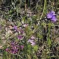 Dichelostemma capitatum with Allium crispum, Mary Sue Ittner