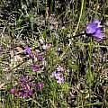 Dichelostemma capitatum with Allium crispum, Mary Sue Ittner