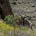 Dichelostemma capitatum, HW178, Mojave Desert, Nhu Nguyen