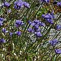 Dichelostemma capitatum, Mary Sue Ittner [Shift+click to enlarge, Click to go to wiki entry]