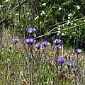 Dichelostemma capitatum, Stebbins Cold Canyon Reserve, Nhu Nguyen