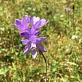 Dichelostemma congestum, Loren Adrian [Shift+click to enlarge, Click to go to wiki entry]
