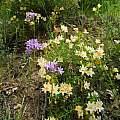Dichelostemma multiflorum habitat, Nevada County, Mary Sue Ittner