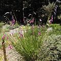 Dierama sp. flowering clump, Bob Rutemoeller
